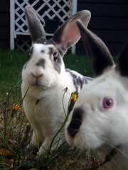Isabel and JR (jellywatson) Tags: seattle autumn cute bunnies fall yard garden soft ears jr westseattle isabel rabbits dandelions