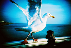 Kehaar (lomokev) Tags: blue sea sky bird water animal top20favorites pier lomo lca xpro lomography crossprocessed xprocess top20animalpix brighton seagull lomolca agfa jessops100asaslidefilm agfaprecisa watershipdown lomograph brightonpier agfaprecisa100 palacepier cruzando top20xpro precisa kehaar deletetag jessopsslidefilm rota:type=showall rota:type=composition rota:type=happyaccidents rota:type=movement use:on=moo file:name=lomo0306a24
