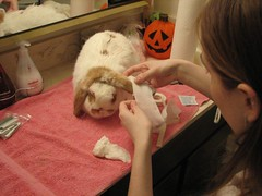 (joandirk) Tags: rabbit bunny cadbury injured