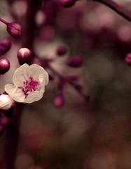 (belle*devotchka) Tags: park pink flowers flower macro london rose whiteflower dof rosa buds shopped southlondon brixton roze brockwellpark whiteflowers hernehill rosado ピンク brockwell пинк ροζ