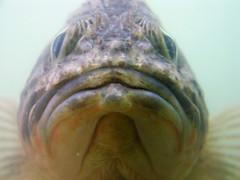 Close Encounters (Dancing Fish) Tags: fish nature ilovenature marine sealife hastings underwaterworld marinelife thingsthatliveinthesea