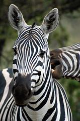 Burchell's Zebra - Amboseli (@Mark_Eveleigh) Tags: africa park travel portrait west tourism nature vertical natural kenya wildlife reserve conservation biting safari zebra bite tsavo courting equus courtship burchells burchelli burchel tsavowestnp