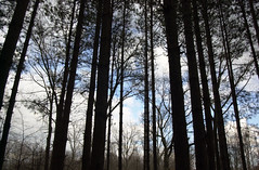 Evergreen Outlines (bbikkerr1) Tags: deleteme5 trees ohio deleteme8 sky deleteme2 deleteme3 deleteme4 deleteme6 deleteme9 deleteme7 daylight deleteme10 toledo oakopeningsmetropark