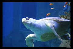 Turtle (Bucky O'Hare) Tags: ocean blue sea fish art nature water animal swimming swim aquarium marine underwater natural artistic turtle shell sealife seaturtle marinelife oceanlife marineanimal