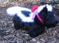 skunk_dog (istolethetv) Tags: dog dogs halloween photo costume foto image snapshot picture halloweencostume terrier photograph skunk  scottishterrier  dogsincostumes halloweendogparade tompkinssquareparkdogparade dogsinhalloweencostumes canetravestito caneincostume halloweencostumesfordogs