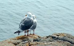 Baskin Bird Buddies (Foto Buff) Tags: birds gulls seashore notpicked