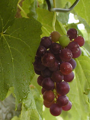 Red Grapes (farlane) Tags: vineyard wine creativecommons grapes
