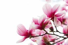 IMG_1221 (Vaughan) Tags: flowers tree magnolia onwhite whiteground