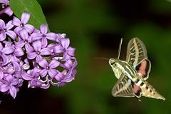 Lilac and Sphinx Moth (No. 6) (JoelDeluxe) Tags: verde green topv111 purple moth albuquerque lila lilac nm joeldeluxe sphinxmoth blancas mota lineas southvalley canondigitalrebelxt purpura whitelinedsphinxmoth theblinkofaneye 100mmusmmacrolens 250v10f