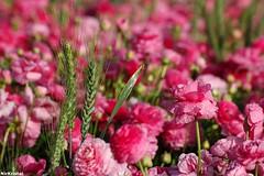 (nir kristal) Tags: flowers flower israel nikon d70s ranunculus