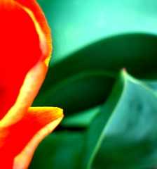 A Touch Of Spring (javanutmom) Tags: red flower macro tag3 taggedout spring tag2 tag1 9 petal explore tulip lookatme top20color tccomp058 92a 12363p