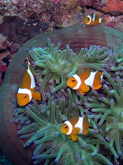 Family of Four (Coppertane) Tags: ocean sea animals asia southeastasia underwater scuba diving malaysia scubadiving aur dayang c5060wz