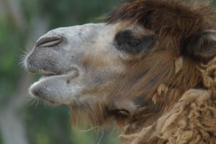 "Chewing Camel Says ""Will You Wipe the Gook From My Eye?"" (cwgoodroe) Tags: animals zoo san sandiego diego sd camel"