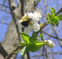 Flight of the Bumblebee (mostlysunny1) Tags: blue flower tree green buzz flying spring action bumblebee bloom cherryblossom kiss2 kiss3 kiss1 kiss4
