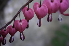 Bleeding Heart Flowers (kotobuki711) Tags: pink flowers plant flower explore bleedingheart