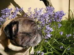Pug Smells Purple Flower - by zoomar