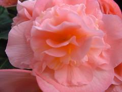 beauty deep (P.J. McNair) Tags: flowers honeymoon prettypetals