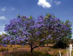 I Shot This Tree Because It Was Just Standing There (Bill Adams) Tags: tree hawaii purple explore jacaranda jacarandatree fountaingrass wildgrass puuanahulu pennisetumsetaceum