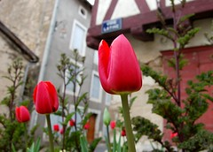 Spring time in France (Jaxpix50) Tags: red france tag3 taggedout easter tag2 tag1 tulip oldquarter confolens jaxpix50 jackiehsouth