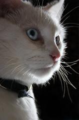 Lacy (paigelynn) Tags: pet cats pets cat canon interestingness feline blueeyes 2006 felines lacy whitecat top20cat i500 interestingness420 paigelynn thebiggestgroup cc400 cc300 cc200 cc100 explore22apr06 paigemandera bestofcats