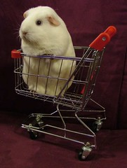 Lily in the trolley (bivoir) Tags: pet cute animal wow guinea pig guineapig cavies cavy trolley scs