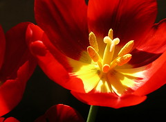 tulip center 2 (Muffet) Tags: red flower catchycolors tulips utata ccmpclosencounter