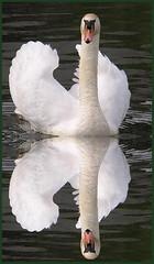 Swan   ? (**Mirm**) Tags: holland reflection animal swan nikon 2006 swans volendam zwaan zwanen