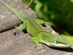 Anole by