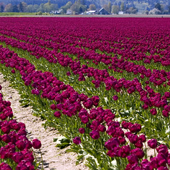 Tulips (bentilden) Tags: usa field wow purple tulips pentax washingtonstate mountvernon skagitvalley laconner istdl