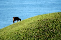 organic (Farl) Tags: ocean travel blue sea color green colors grass landscape islands cow cattle philippines hill farming north pasture organic basco grazing southchin