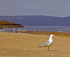 Portobello Beach (Viche) Tags: sea scotland sand edinburgh gull portobello herringgull heathaze portobellobeach