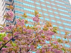 Cherry Blossoms in Tokyo, Japan (_takau99) Tags: trip travel vacation flower color cute beautiful topv111 japan cherry tokyo spring topv555 topv333 nikon colorful blossom topv444 2006 topv222 fourseasons coolpix april  cherryblossom  sakura cherryblossoms  topv777 s1  minatoku topv666 minato akasaka topv888 1on1    princehotel  takau99