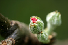 Giz 'a' kiss (Ray Euden) Tags: flower macro tree apple closeup blossom bud appleblossom ccmpclosencounter