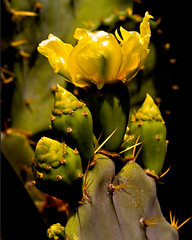 Prickly-Pear Cactus (Opuntia humifusa) (key lime pie yumyum) Tags: cactus yellow pricklypear savedbythedeltemeuncensoredgroup