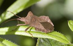 "brown shield bug • <a style=""font-size:0.8em;"" href=""http://www.flickr.com/photos/57024565@N00/139679825/"" target=""_blank"">View on Flickr</a>"