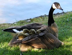 Protective Mom! (shesnuckinfuts) Tags: geese pond backyard quality animalplanet kentwa featheryfriday saywa experiencewa animaladdiction specanimal shesnuckinfuts aksubjectmatterfamily avianexcellence