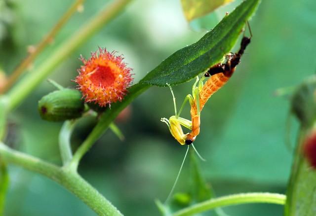 Mantis Mon & Baby