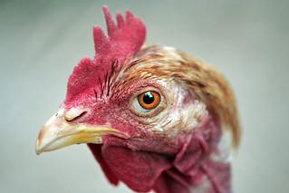 cabella de pollo