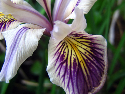 White and Purple Iris
