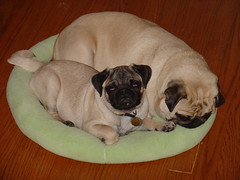 These guys kill me (Knitterista) Tags: dogs puppy pug pugs