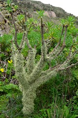 Big groundsel (Buckeye.) Tags: plant flower composite volcano lava spain lanzarote volcanic canaryislands asteraceae haría kleinianeriifolia seneciokleinia