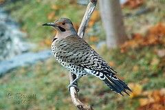 Northern Flicker (Clyde Barrett) Tags: canada bird newfoundland woodpecker nl nfld flicker clydebarrett