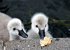 Be weary, the hand of Man ... (young_einstein) Tags: lake 20d nature water canon bread swan feeding cygnet ~ springlake 1755 babyswan carolinesprings youngswan featheryfriday efs1755
