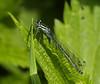White-legged Damselfly (Foto John) Tags: macro insect olympus e300 damselfly zd 40150mm whiteleggeddamselfly xt25 platycnemispennipes