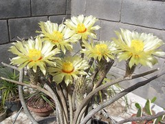 Digitostigma 4 (Totalmente Norestense) Tags: cacti cactaceae digitostigma
