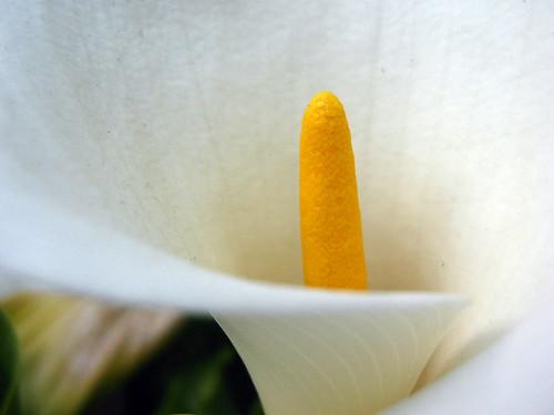 Cali Lily