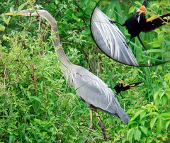 Hey!  Get off my back birdie! (Heron vs. Black Bird) (Nikographer [Jon]) Tags: park blue red lake black bird heron nature water birds animal animals topv111 ilovenature centennial lenstagged nikon funny great maryland ardea d200 nikkor winged greatblueheron herodias rofl redwingedblackbird ardeaherodias gbh 80400mmf4556dvr centenniallake wildlifenorthamerica nikond200 featheryfriday nikographer nikographerjon