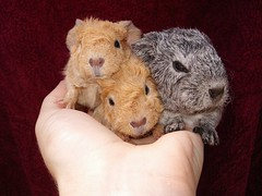 3 Stooges (bivoir) Tags: pet cute wow guinea cavies cavy guineapigs adorable pigs cmcaug06