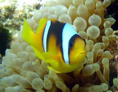 are you talking to me? (Key of Life) Tags: life africa red sea fish macro uw nature water coral digital mar photo nikon marine paradise mare underwater nemo little photos clown sub redsea dive egypt deep scuba diving el snorkeling clownfish anemone coolpix 5200 aquatic biology rosso sheikh depth egitto anemonefish sharm pesce immersioni pagliaccio corallo naturalmente fotosub subacquea wetpixel keyoflife uderwater amphiprionbicinctus pescepagliaccio underwaterpics fondali twobandanemonefish fotosubacquee naturephotoshp theunforgettablepictures naturewatcher coolestphotographers uderwaterphotos theperfectphotographer goldstaraward