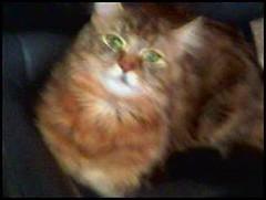 cammy (abimaxim) Tags: cats cat cammy mamacat